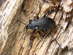 Guldpletlber (Carabus hortensis)